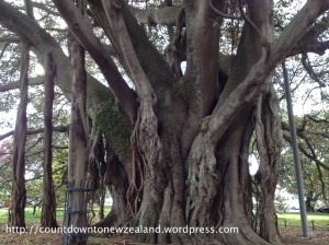 """""""Old Albert,"""" the Moreton Bay Fig Tree in Devonport, with it's striking arial roots."""